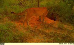 Onça parda (Puma concolor).