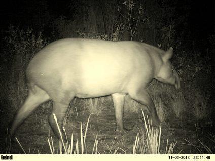 Anta (Tapirus terrestres)